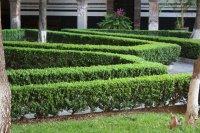 Вечнозеленая живая изгородь Самшит